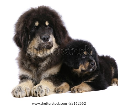 Two underlying puppy on a white background. - stock photo