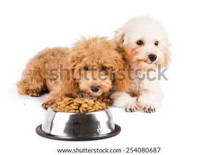 Two uninterested poodle puppies with a bowl of kibbles
