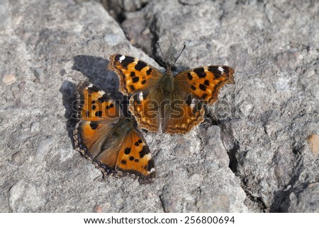 Two Vanessa atalanta butterflies on asphalt in the spring - stock photo