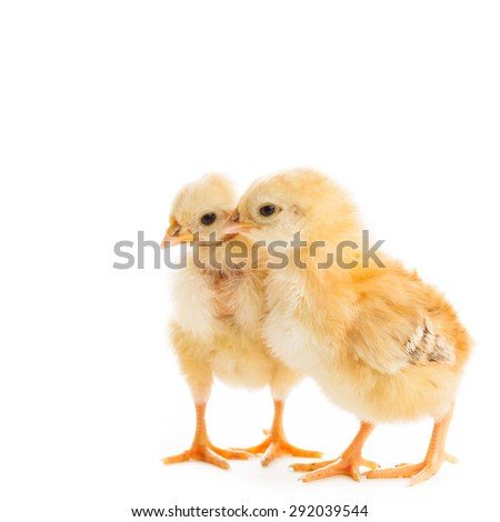 Two various chicks  peck millet, isolated on white - stock photo