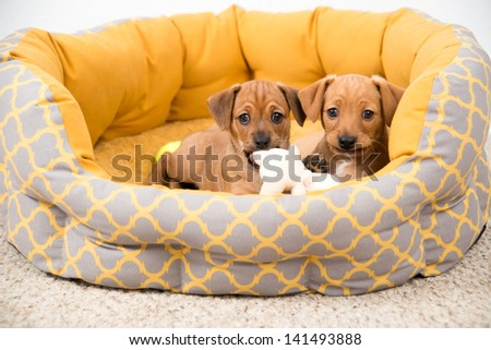 Two Very Young Dachshund and Hound mix Puppies Playing in Bed - stock photo