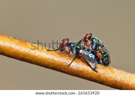Two vibrant colored Malagasy flies (unknown species) mating in summer - stock photo