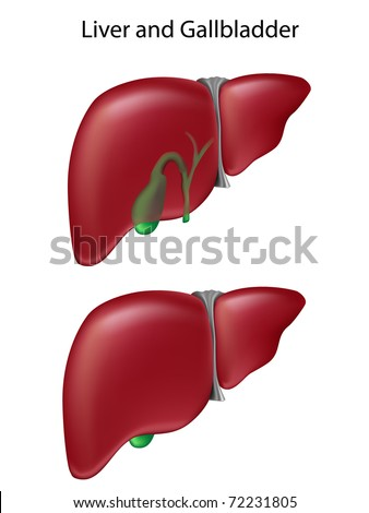 Two views of liver and gallbladder