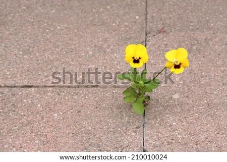 Two Violas in concrete - stock photo