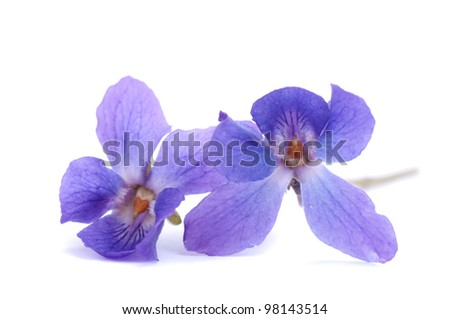 Two violets isolated on white - stock photo