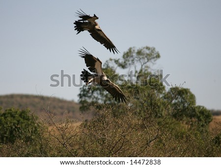 Two Vultures coming in to feed on  the remains of a wildebeest - stock photo