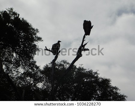 Perched Vulture Silhouette