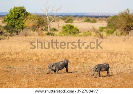 Two warthogs grazing in dry savannah, Kruger National Park, South Africa