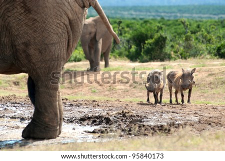 Two warthogs looking at a elephant at a waterhole