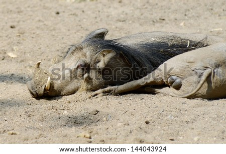 Two warthogs relaxing in mud on a sunny day closeup
