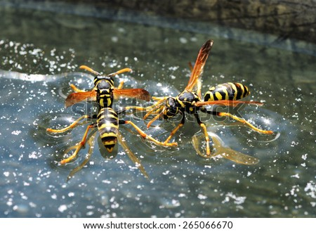 Two wasps (Polistes dominula) sitting on the water surface - stock photo