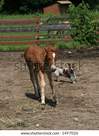 two week old haflinger filly and jack russell terrier playing
