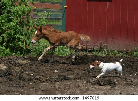 two week old haflinger filly and jack russell terrier running together