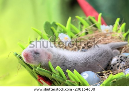 Two weeks old cute ferret baby in the nest of hay with decorations