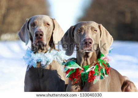 Two weimaraner dog - stock photo