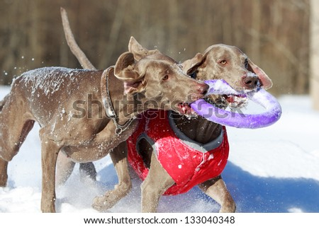 Two weimaraner dog plays toy - stock photo