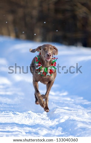 Two weimaraner dog runs - stock photo