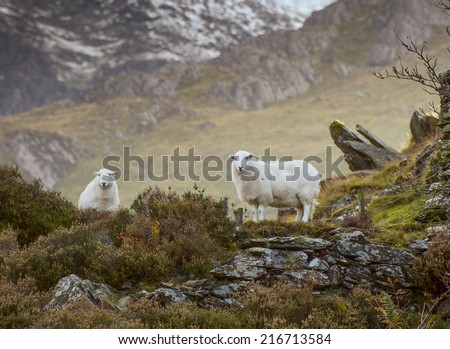 Two Welsh Mountain Sheep - stock photo