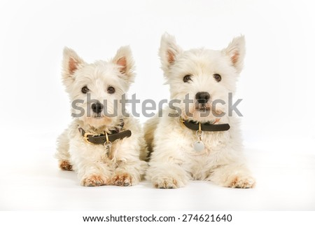 Two West Highland White Terrier dogs isolated on a white background.