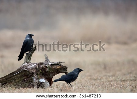 Two Western Jackdaw (Corvus monedula) in December in the meadow, one sitting on a piece of an old trunk. Poland, meadow near Narew river.Horizontal view.