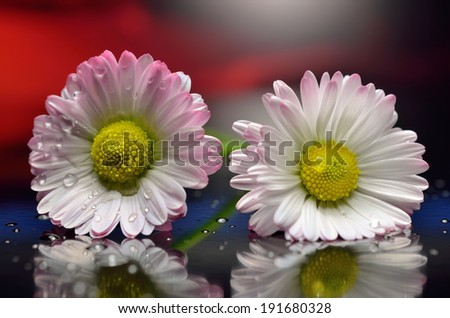Two wet pink daisies lie on the mirror surface. - stock photo