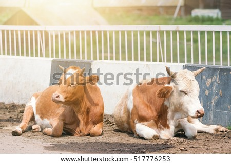 Two white and red cows on the road  in the sunlight
