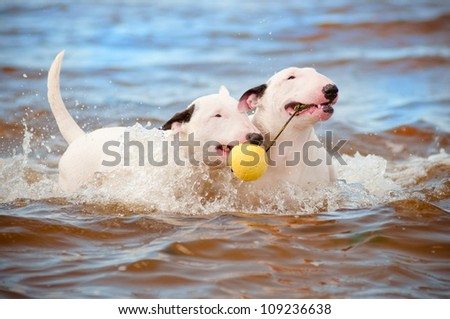 two white bull terrier dogs playing with a ball - stock photo