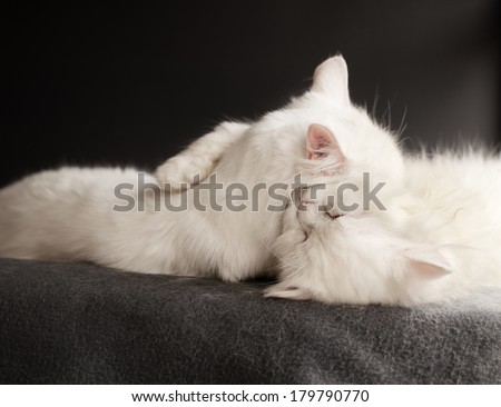 Two white cats hugging - stock photo
