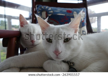 Two white cats sitting on one chair