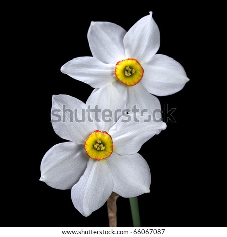 two white daffodils on black - stock photo