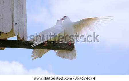 Two white doves kissing on a perch