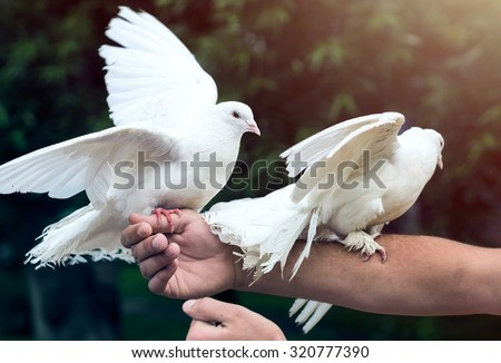Two white doves on man's hand - stock photo