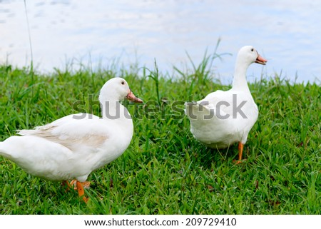 Two white duck standing on glass - stock photo