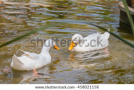 two white ducks in water, duck breeds