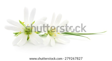 Two white flowers on a white background