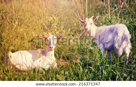 two white goats in the grass