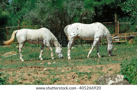 two white horse grazing on grass - stock photo