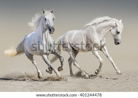 Two white horse run  - stock photo
