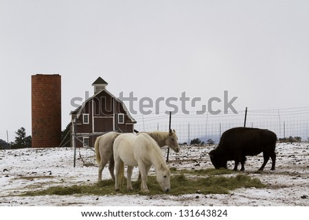 Two white horses and one buffalo grazing near a red barn in the winter. - stock photo