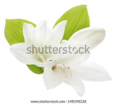 Two white lilies isolated on a white background  - stock photo