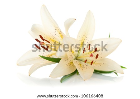 Two white lily. Isolated on white background - stock photo