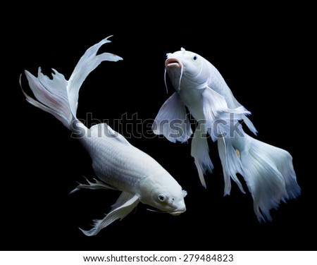 Two white long tail carp fish on black background.