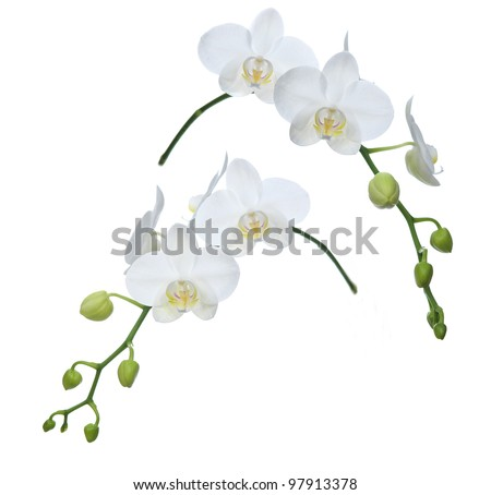 two white orchid - stock photo