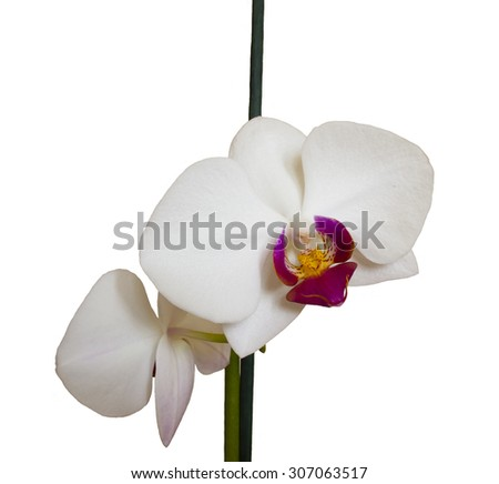 two white orchids on a white background