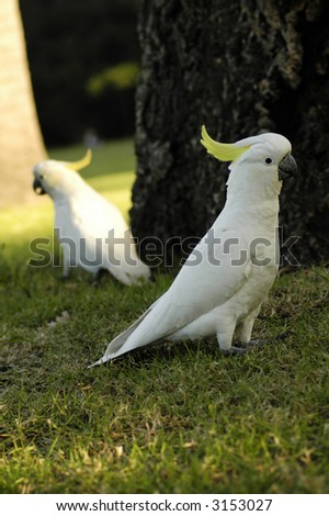 two white parrots with yellow feathers on head - stock photo