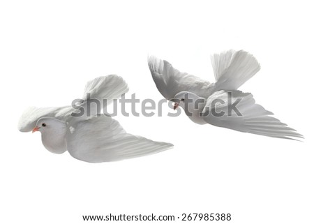 two white pigeon in flight on a white background - stock photo