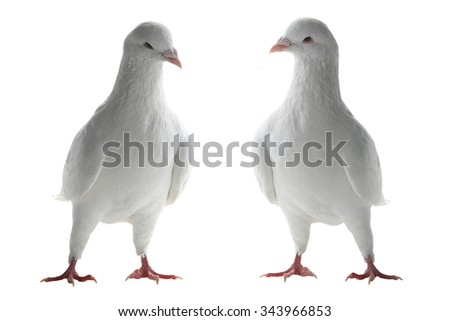 two white pigeon on a white background