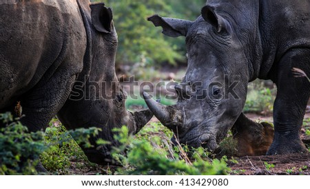 Two white rhino fighting with their horns