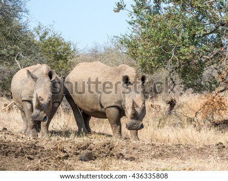 Two White Rhinos Grazing in Kruger National Park, South Africa - stock photo