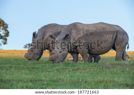 Two white rhinos grazing on the green grass at Schotia Safaris.